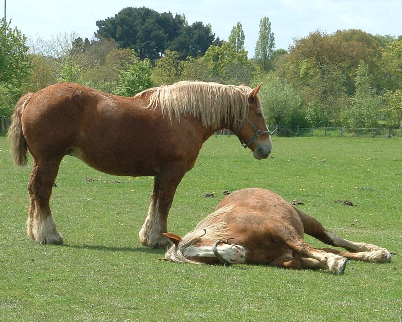 Caballos, Jeu d Elevage de chevaux Toutes les races de chevaux avec photo